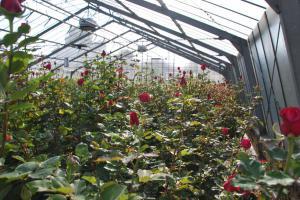 Gewächshaus mit roten Rosen